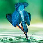 Licher - Eisvogel